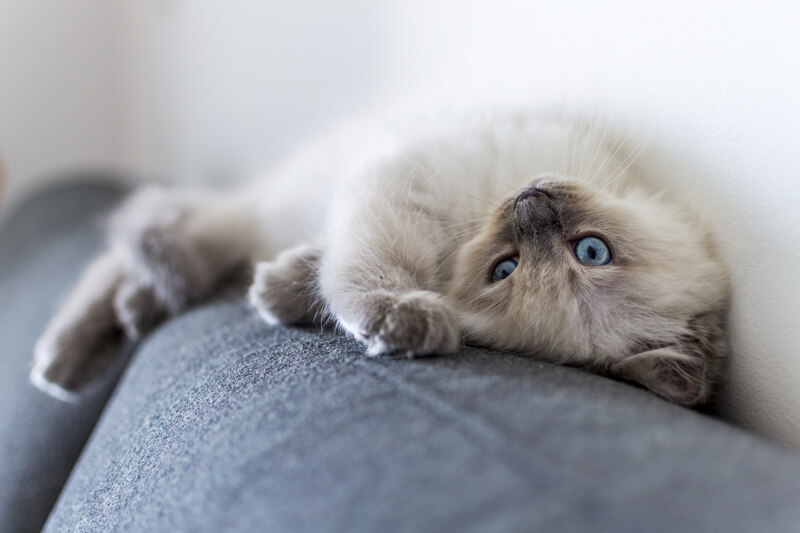 6 Fun Facts about Ragdolls _ Ragdoll cat resting atop a sofa