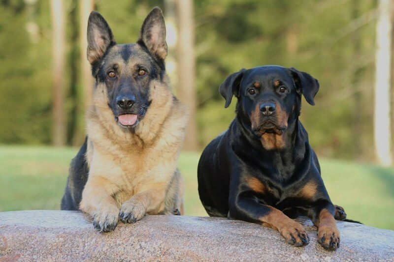 Cost of Cruciate Ligament Surgery in Dogs _ German Shepherd Rottweiler sitting on a rock