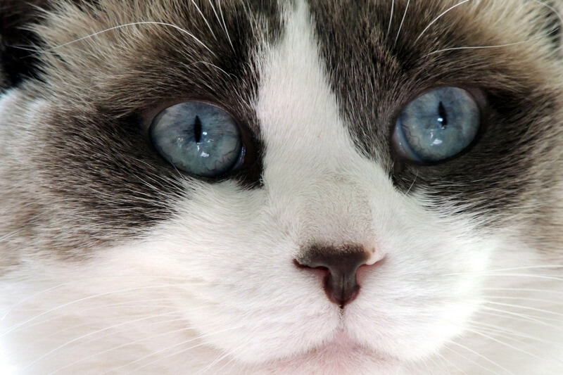 Ragdoll cat characteristics _ Ragdoll cat with big blue eyes