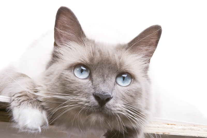 Ragdoll cat personality traits