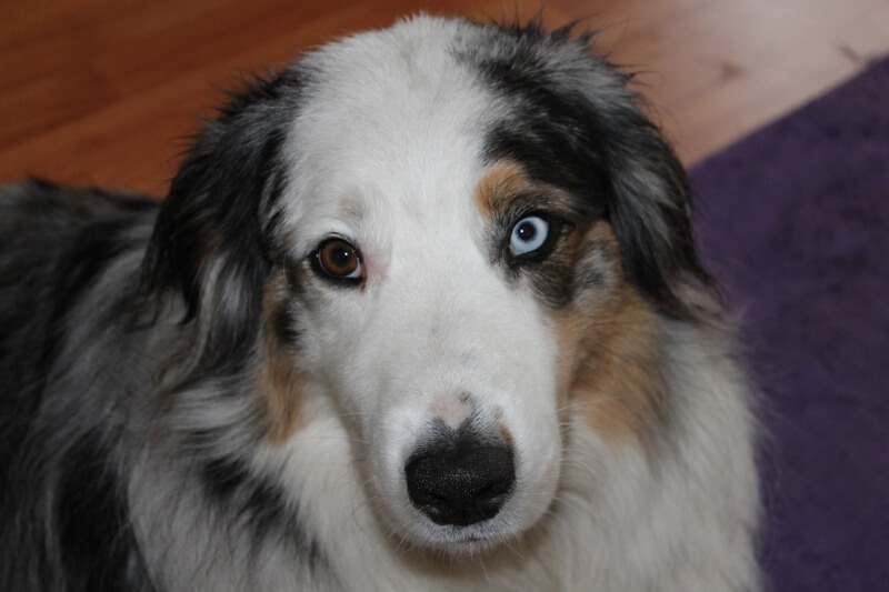 can separation anxiety in dogs be treats _ australian shepherd with heterochromia