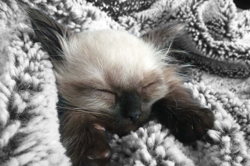 caring for a Ragdoll cat _ kitten wrapped in a black and white blanket