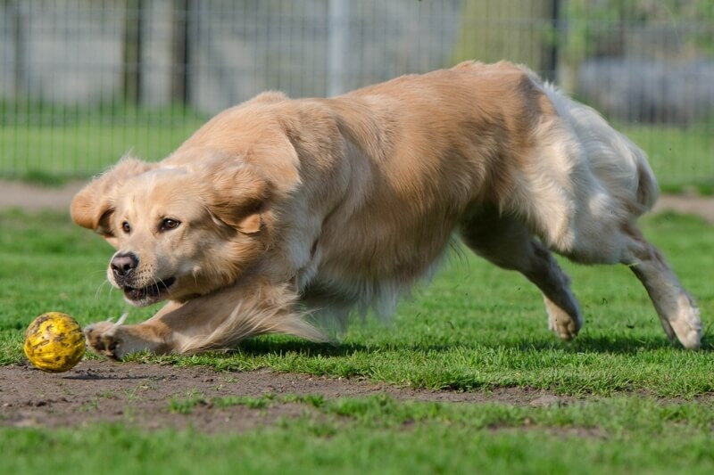 golden retriever running after a ball _ how much exercise does my dog need