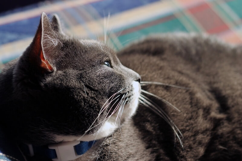 how to diagnose pancreatitis in cats _ grey and white cat with blue collar resting on a plaid blanket