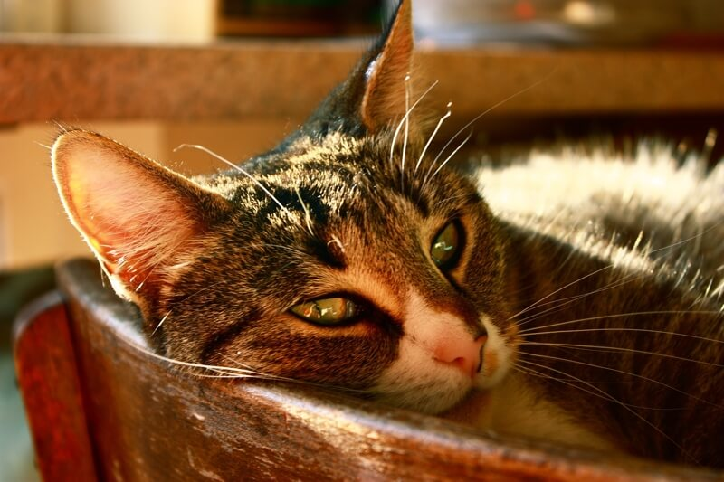 symptoms of poisonous ingestion for cats _ Tabby cat lying down