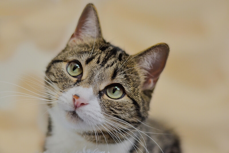 can cats get Cushing's disease _ tabby cat with green eyes looking up