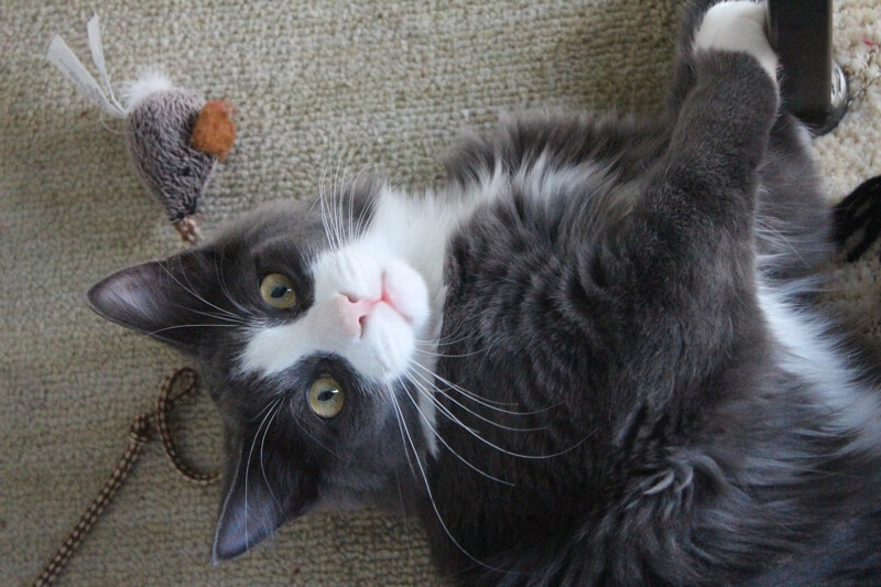 fun facts about catnip _ grey and white cat with catnip toy