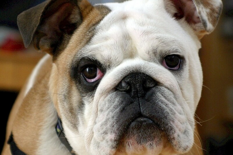 how to diagnose Cushing's disease in dogs _ English bulldog in a black harness