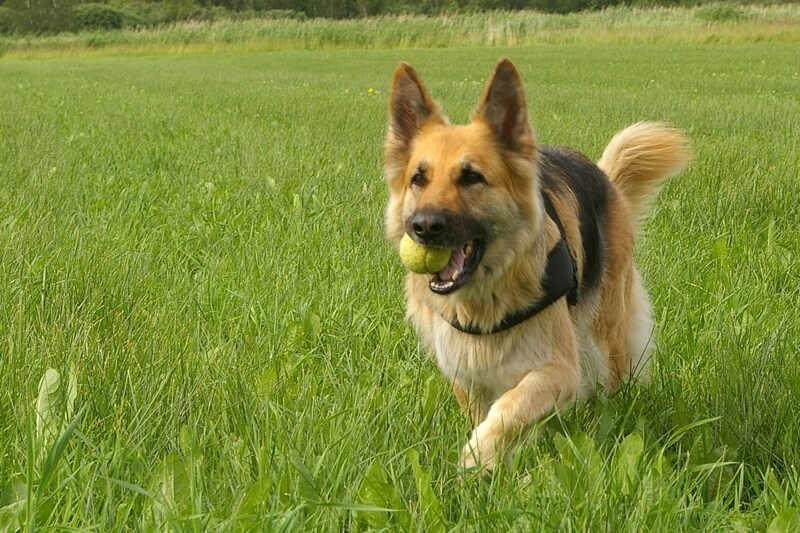 German Shepherd personality traits _ GSD running through a field with a tennis ball