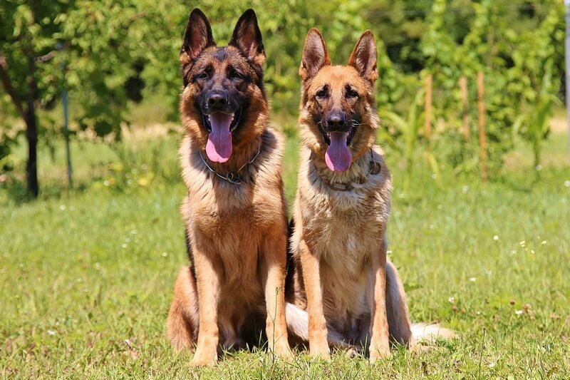 German Shepherd physical characteristics two German Shepherds sitting in a field