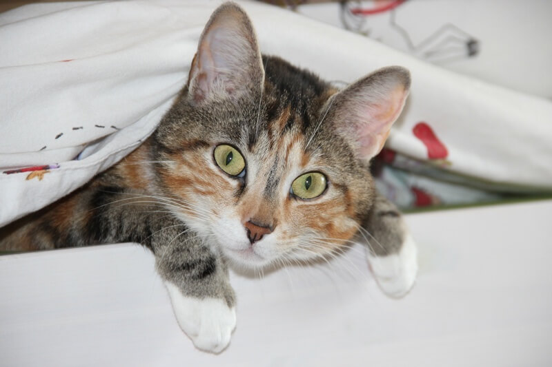 diagnosing and treating cat ear infections _ domestic shorthair cat under a blanket