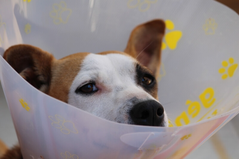 hidden pet health care costs _ mixed breed dog in a cone