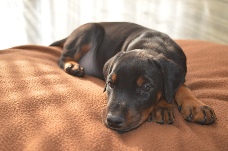 most common seizures in dogs _ black and tan puppy