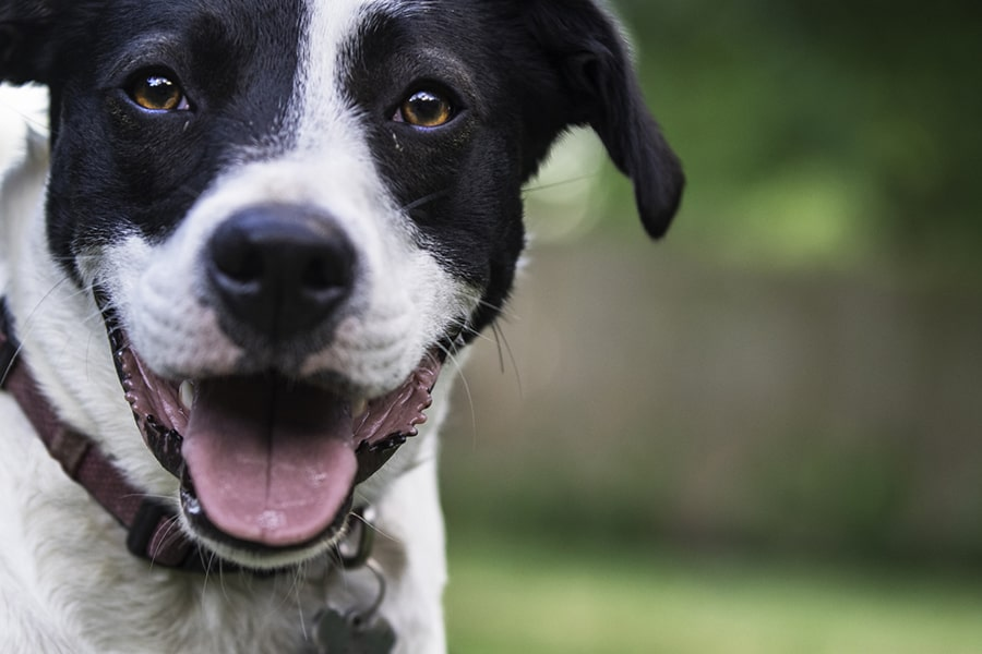 mixed breed black and white dog with a pink collar smiling in a backyard in front of a wooden fence