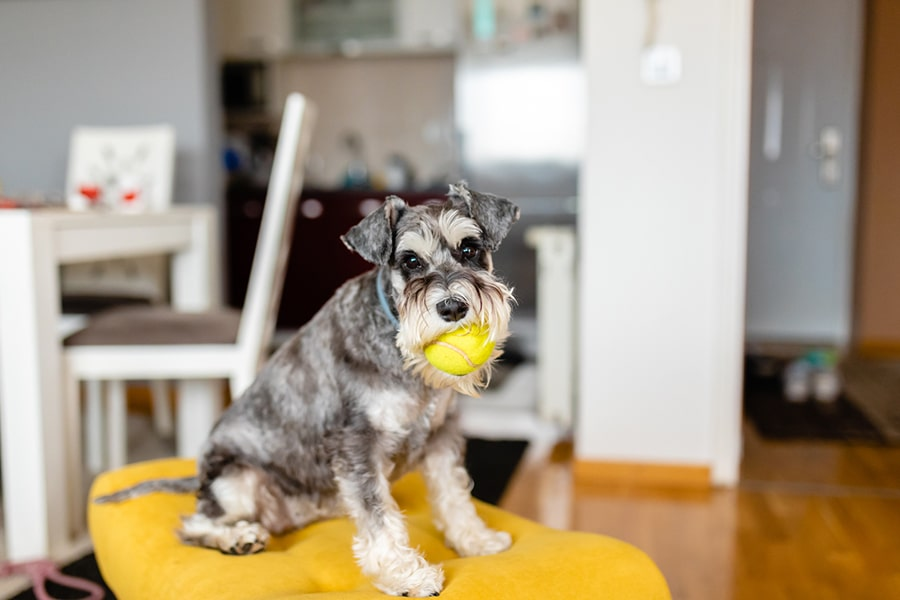 miniature gray schnauzer sitting on a yellow stool playing with a tennis ball