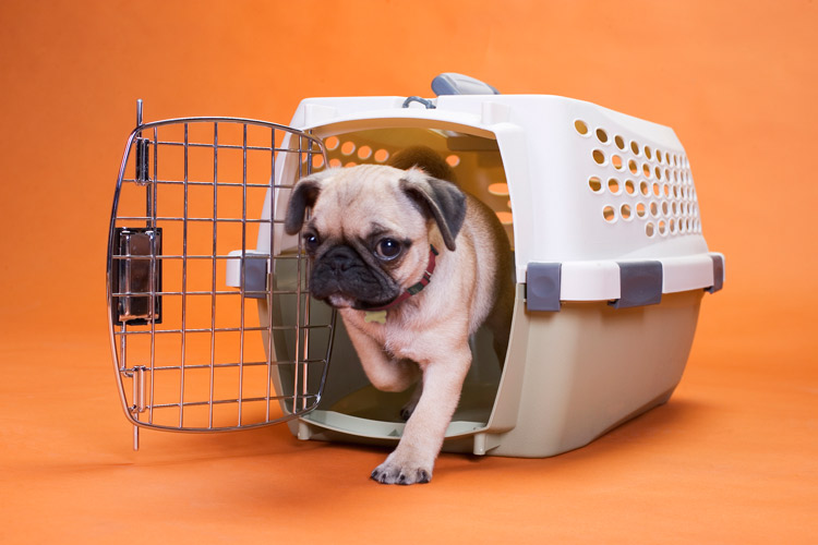 How to Crate Train a Puppy _ ASPCA Pet Insurance _ small pug walking out of crate carrier