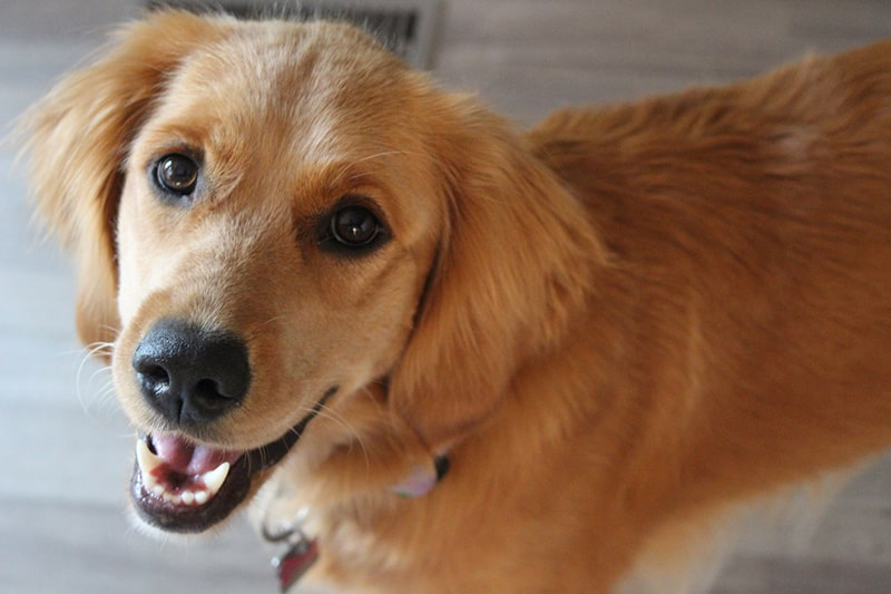 happy young golden retriever smiling indoors