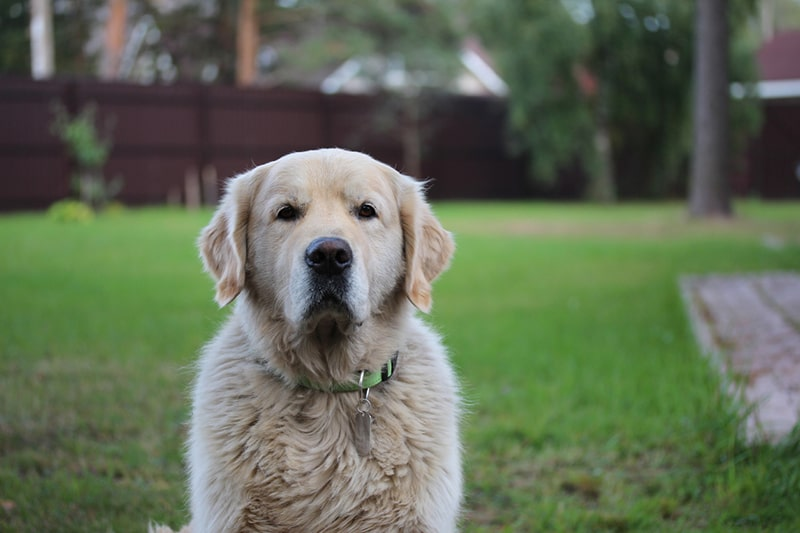 older golden retriever with a green collar sitting out in the yard