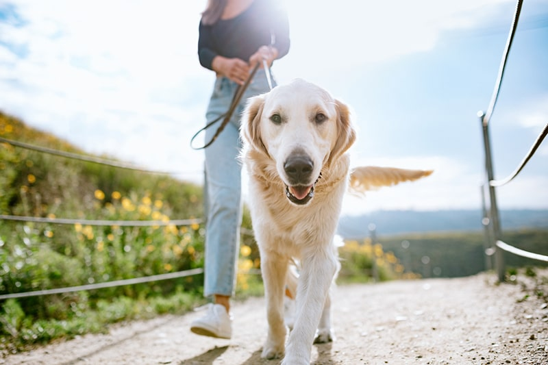 young woman walking a golden retriever down a dirt path