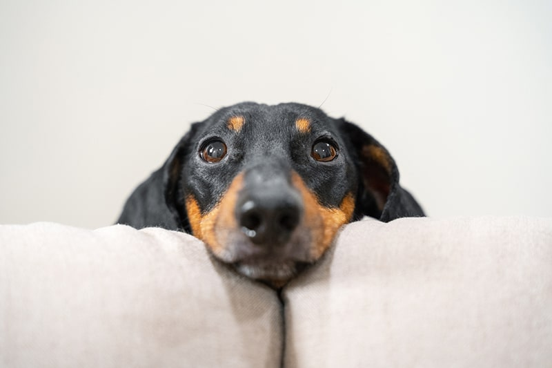 black and tan shorthair dachshund on a gray couch