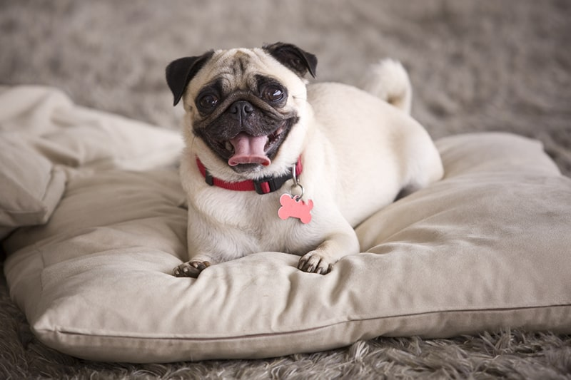 fawn pug dog with a red collar and red tag on a cream pillow