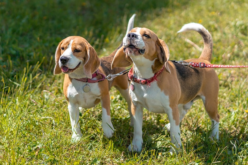 two beagles with red collars and tags walking on leashes through grass