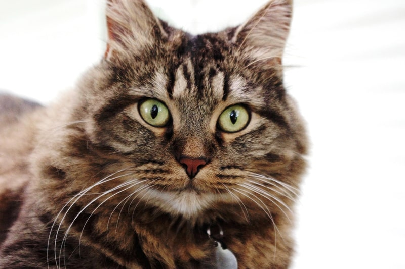 brown tabby maine coon cat with a silver tag staring directly into the camera
