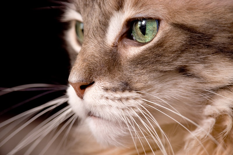close-up of the face of a brown male maine coon cat