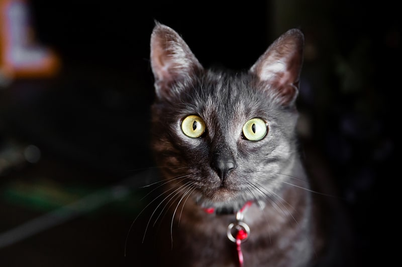 domestic shorthair cat with a red collar and tag