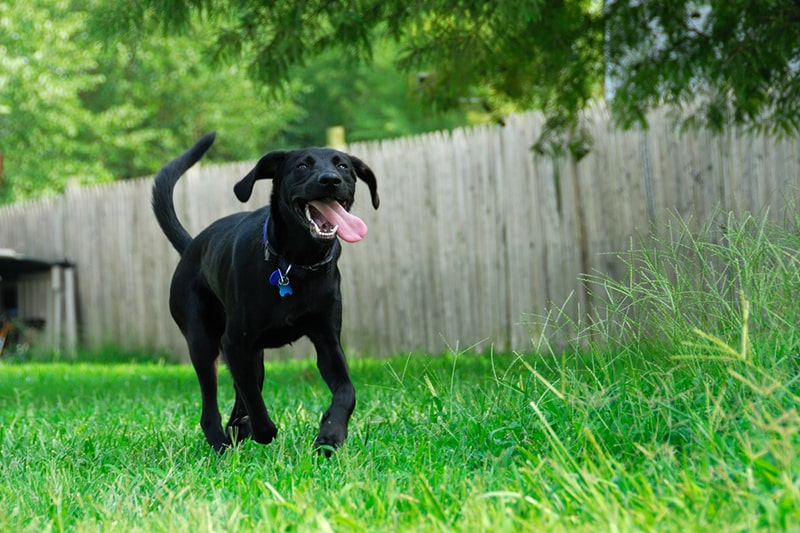 black lab with a blue collar and tag smiling and running through the backyard