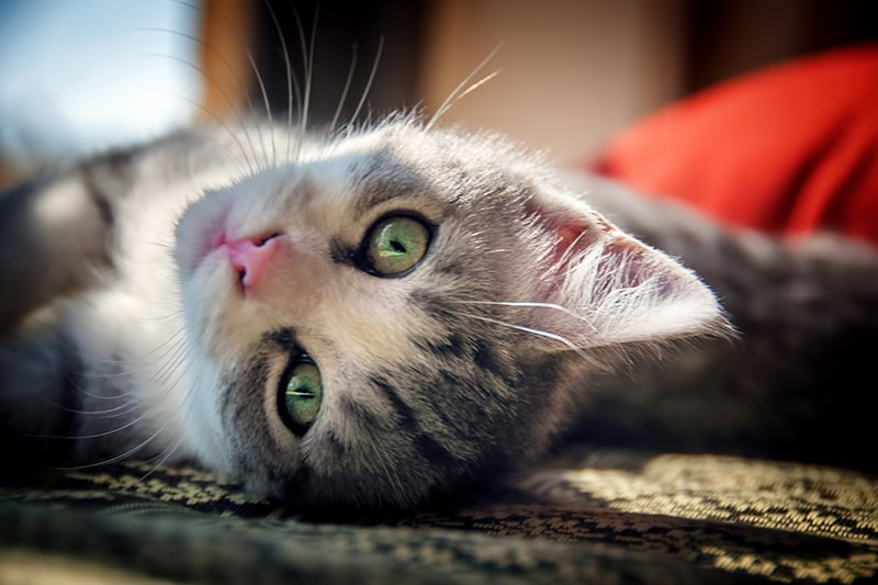 gray and white tabby cat with green eyes and a pink nose lying on the floor