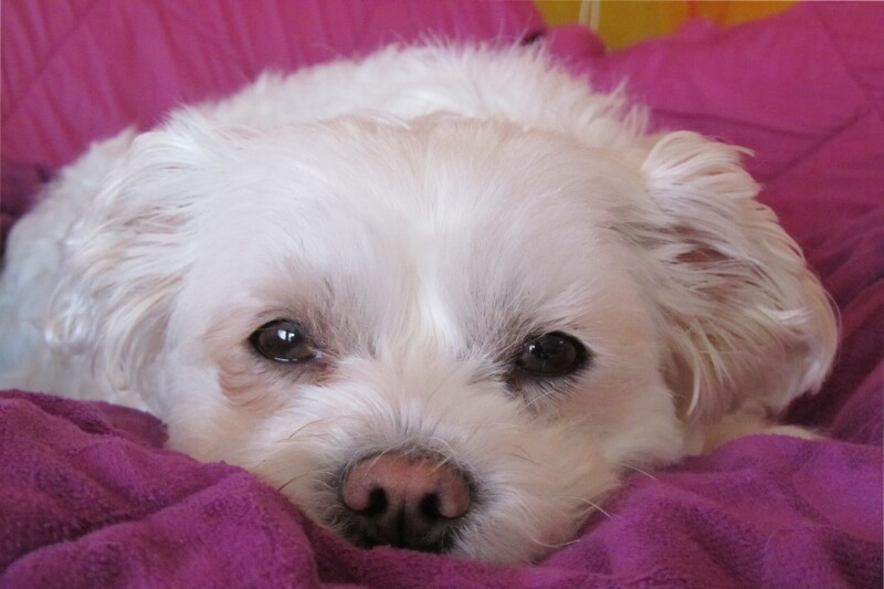 how to perform CPR on a dog _ sad Maltese on a pink blanket