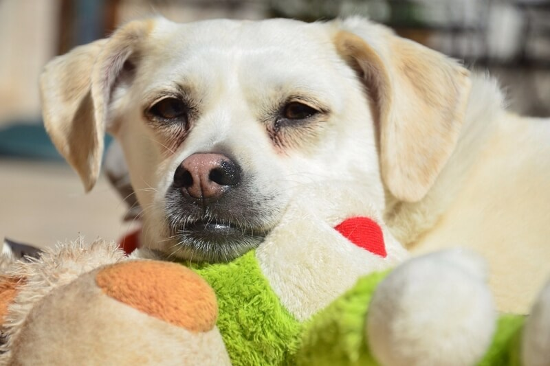 signs your dog may need emergency care _ Labrador retriever mix with green stuffed toy