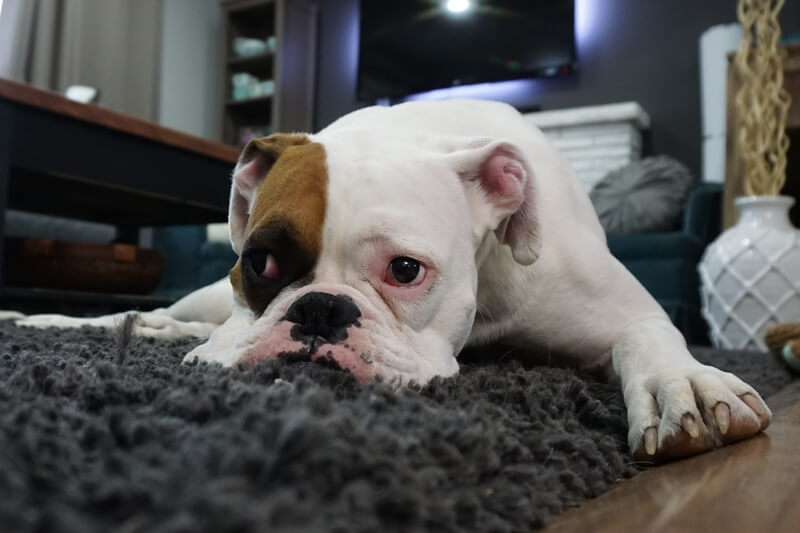 what causes separation anxiety in dogs _ sad bulldog lying on carpet