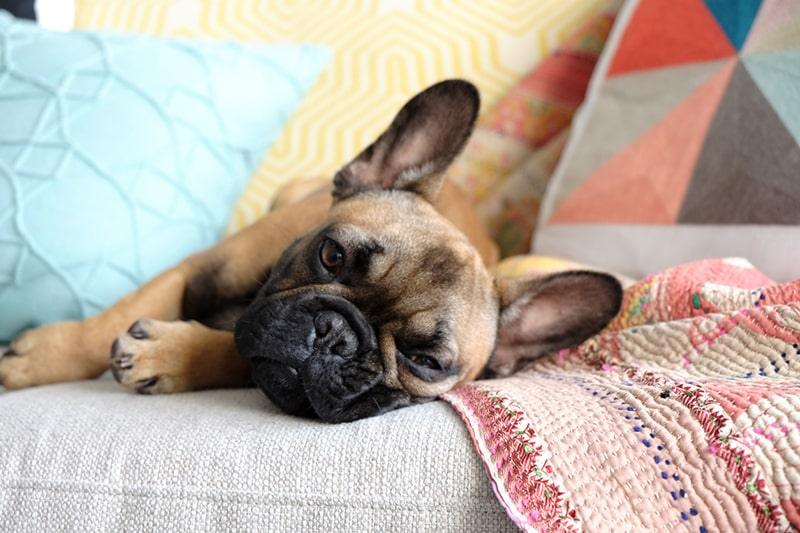 Detecting and Treating Cushing's Disease in Dogs and Cats _ ASPCA Pet Insurance _ French bulldog resting on a couch surrounded by pillows