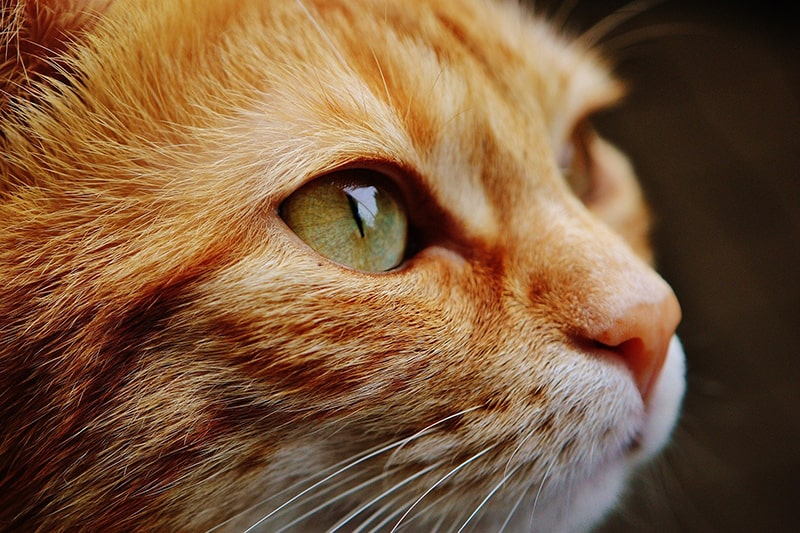 Do Cats Get Pink Eye? _ ASPCA Pet Health Insurance _ orange tabby cat with green eyes