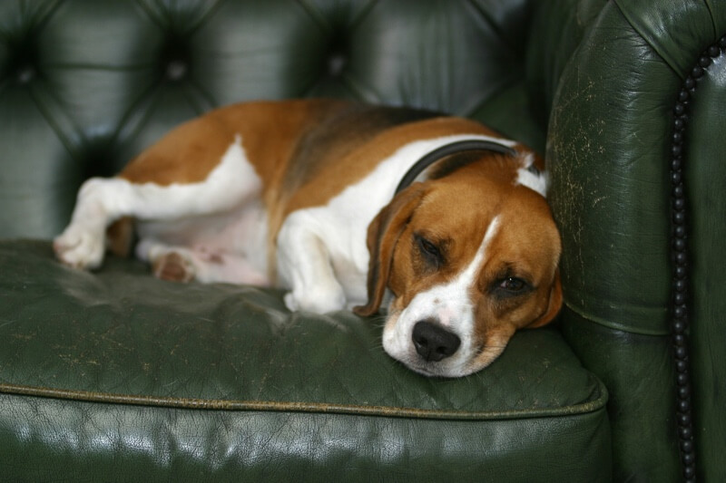 can dog flu be transmitted to humans or cats _ beagle resting on a green leather chair
