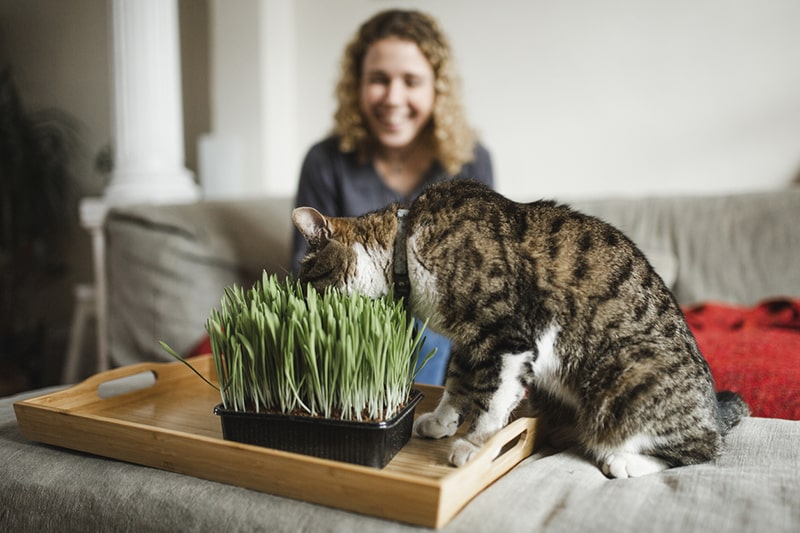 how catnip effects cats _ tabby eating fresh catnip in a living room