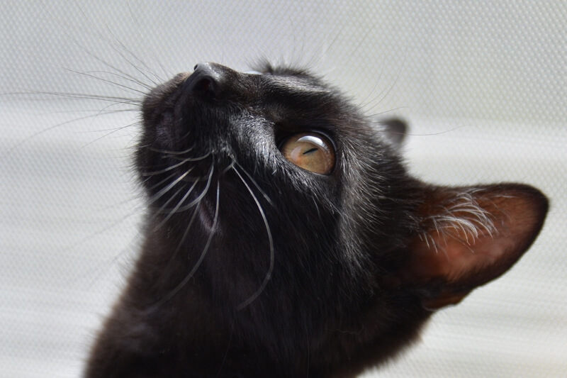 how pink eye in cats is diagnosed _ black cat looking up