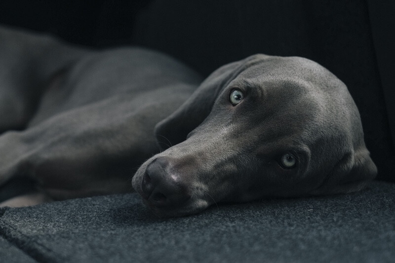 how to diagnose dog flu _ grey dog resting