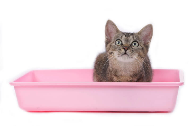 how to treat common urinary problems in cats _ tabby cat in pink litter box