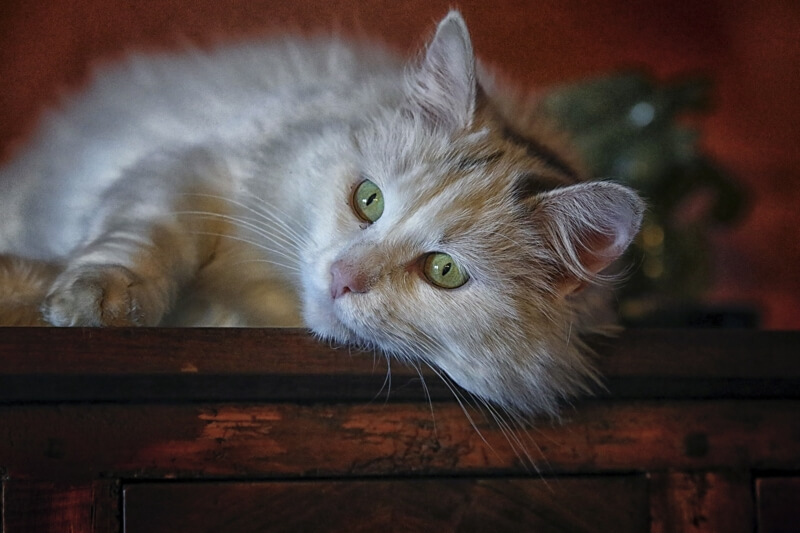 how to treat pink eye in cats _ cream colored longhaired tabby