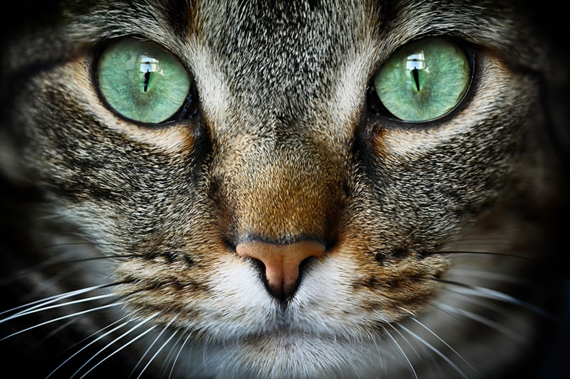 how to treat pink eye in cats _ tabby cat with big green eyes