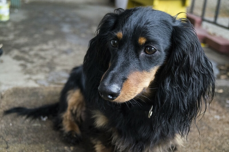 longhaired Dachshund outside