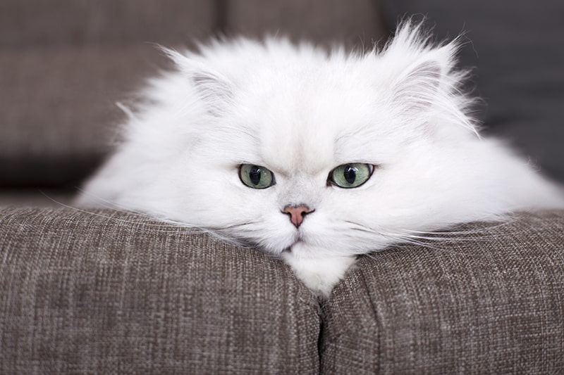 Persian Cat Facts History Personality and Care _ ASPCA Pet Health Insurance _ white Persian cat resting on a brown sofa