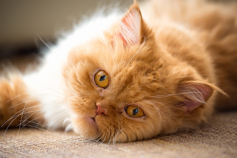 grooming tips for a Persian cat _ ginger Persian cat with gold eyes lying on the ground