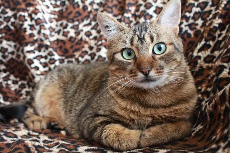 preventing and managing pink in cats _ tabby cat with green eyes