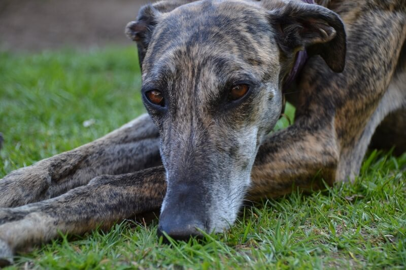 symptoms of Cushing's disease in dogs _ brindle greyhound dog resting on grass