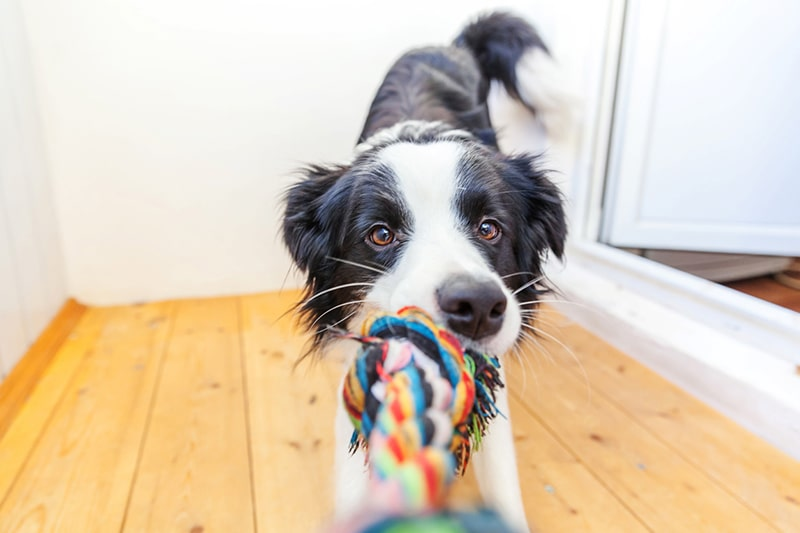 symptoms of cruciate ligament tears in dogs _ border collie playing tug of war with a multi-colored rope
