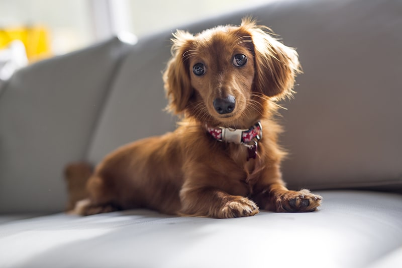 Fun Facts About Dachshunds